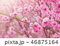 blurred sakura tree background 46875164