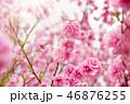 blurred sakura tree background 46876255