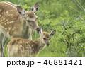 鹿 親子 子鹿の写真 46881421