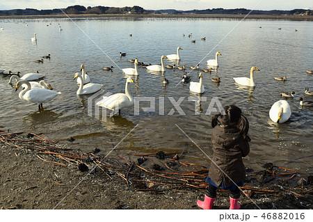 白鳥に餌をやる女の子 46882016