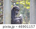 チンパンジー 動物 類人猿の写真 46901157
