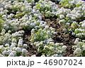 アリッサム アブラナ科ロブラリア属Alyssum 白い小さな花 46907024
