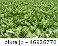 群馬県昭和村 高原レタス (8月) 46926770