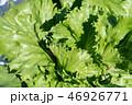 群馬県昭和村 高原レタス (8月) 46926771
