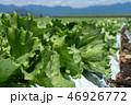 群馬県昭和村 高原レタス (8月) 46926772