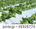 群馬県昭和村 高原レタス (8月) 46926774