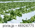 群馬県昭和村 高原レタス (8月) 46926775