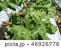 群馬県昭和村 高原レタス (8月) 46926776