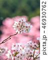 桜 花 植物の写真 46930762