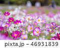 コスモス 花畑 花の写真 46931839
