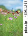 コスモス 花畑 花の写真 46931843