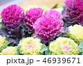 植物 葉 葉牡丹の写真 46939671