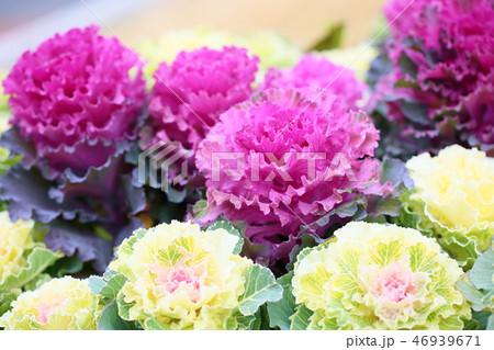 ハボタンの花 46939671