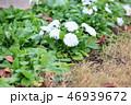 花 チロリアンデージー ヨーゼフの写真 46939672