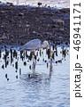 鳥 水鳥 水辺の写真 46941171