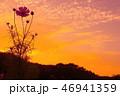 夕焼けとコスモス 46941359