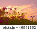 コスモスと夕焼雲 46941362