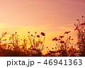 コスモス畑の夕焼け 46941363