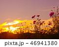 夕日とコスモス畑 46941380