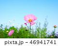 ピンクのコスモス 46941741
