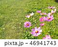 草原で咲くコスモス 46941743