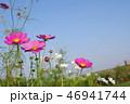 川原の土手で咲くコスモス 46941744