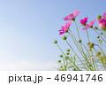 秋空と秋桜 46941746