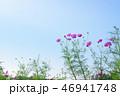 コスモスと秋空 46941748