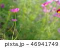 ピンクのコスモス 46941749