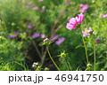 ピンクのコスモス 46941750