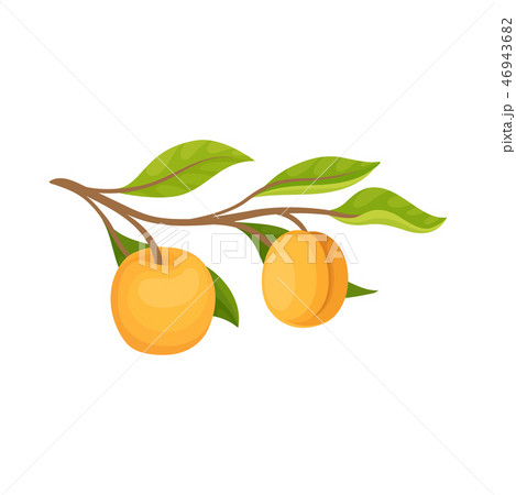 Two ripe apricots hanging on small branch with green leaves. Delicious fruit. Natural and healthy 46943682