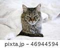 グレー ねこ ネコの写真 46944594