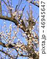 梅 花 春の写真 46945647