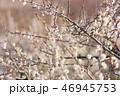 梅 花 春の写真 46945753