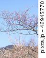 梅 花 春の写真 46945770