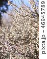 梅 花 春の写真 46945789