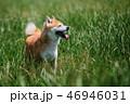 動物 しば 柴犬の写真 46946031