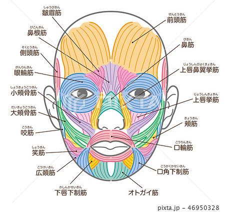 顔の筋肉 名称入り 46950328