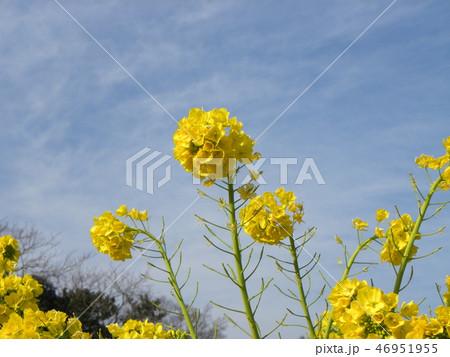 12月に咲き始めた早咲きナバナ 46951955