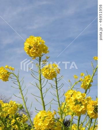 12月に咲き始めた早咲きナバナ 46951956