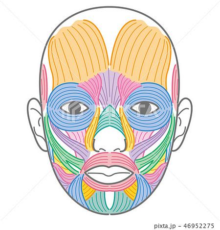 顔の筋肉 46952275