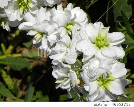 薄紫の花は上から見たストックの花 46952715