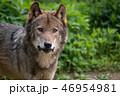 タイリクオオカミ 狼 動物の写真 46954981