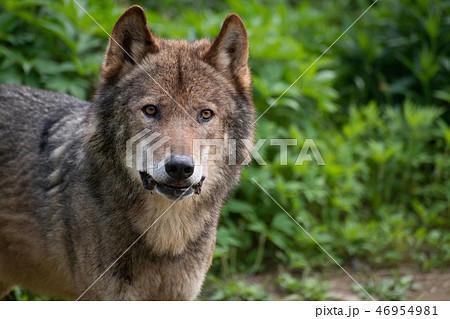 見つめてくるオオカミ 46954981