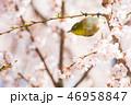 花 桜 春の写真 46958847