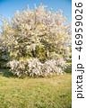 花 木 桜の写真 46959026