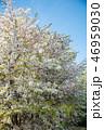 植物 花 桜の写真 46959030