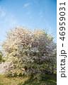 花 木 桜の写真 46959031