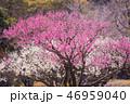 梅 花 ピンクの写真 46959040
