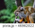 リスザル 猿 動物の写真 46962022